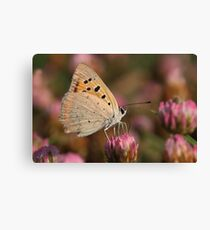 The Small Copper, American Copper or the Common Copper, Lycaena phlaeas Butterfly  Canvas Print