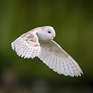Barn owl (Tyto alba) by Stephen Liptrot