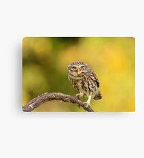 A little owl with a grasshopper  Canvas Print