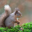 Red squirrel by wildlifephoto