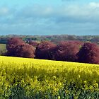 Copper Beeches across a Field of Rapeseed - Brockwood, Hampshire by Chris Monks