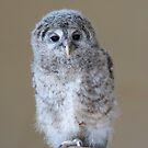 Eurasian eagle-owl (Bubo bubo) by Stephen Liptrot