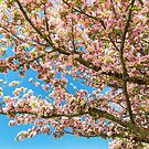 Crabapple Tree Pink Spring Blossoms by Bo Insogna
