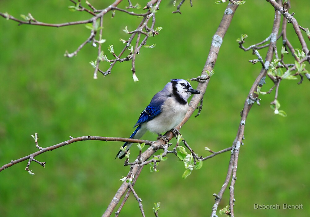 Blue Jay With A Smile by Deborah  Benoit