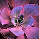Echeveria Pumped Up by Len Bomba