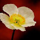 Poppy by Pamela Hubbard