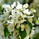A Crabapple Blossom by Len Bomba