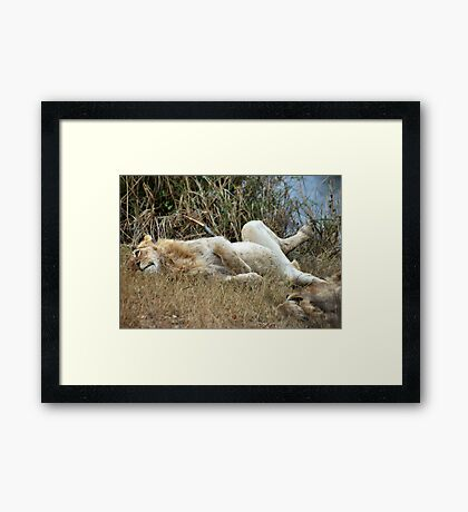 AFTER THE KILL.... WELL FED!! Framed Print