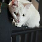 White cat on black by photoaffinity