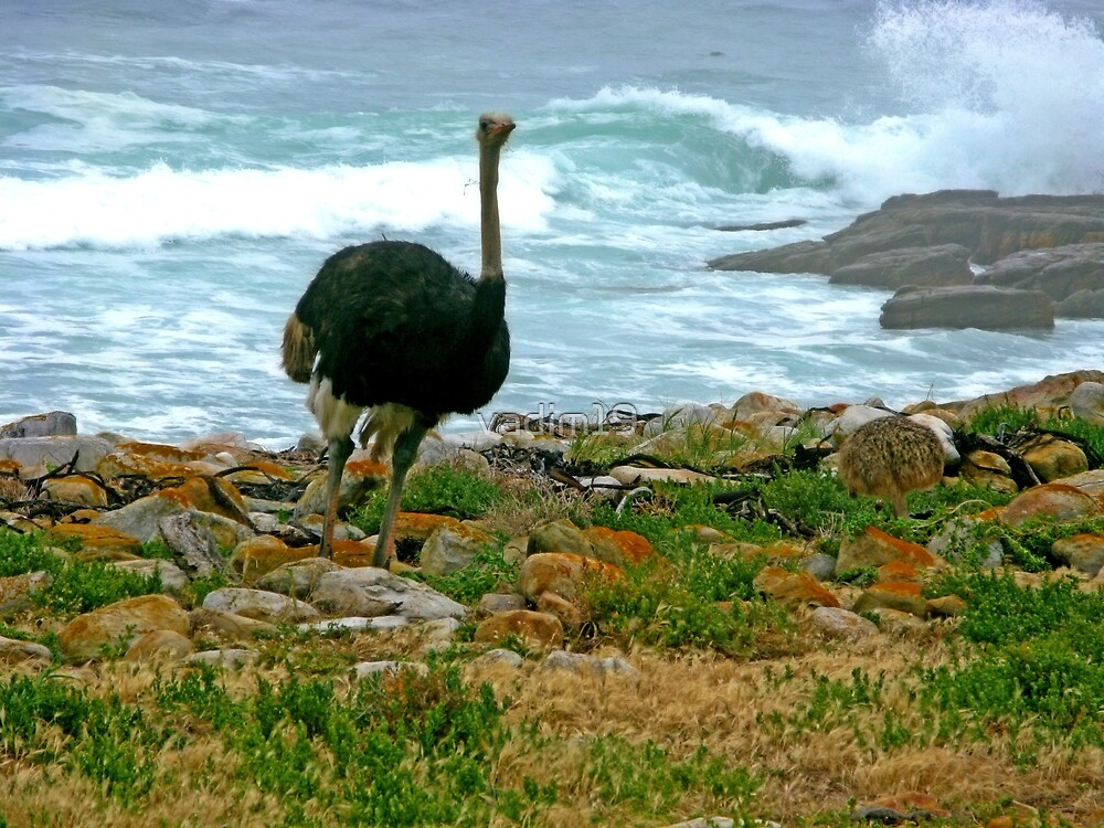 Ostrich, Cape Point Nature Reserve, South Africa by vadim19