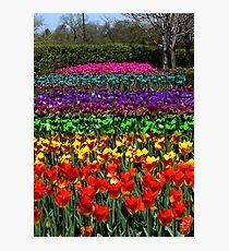 Rainbow Tulips Photographic Print