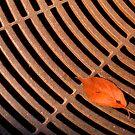Leaf  by MaluC
