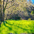 Blooming cherry tree by Silvia Ganora