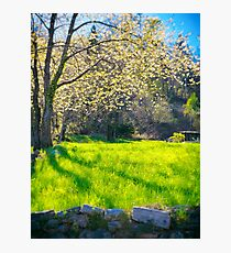 Blooming cherry tree Photographic Print