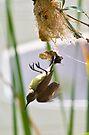Little Spiderhunter 2 by David Clarke