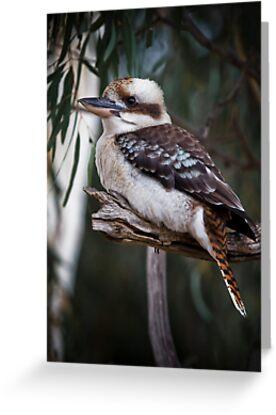 kookaburra sits in the old gum tree by Lisa  Kenny