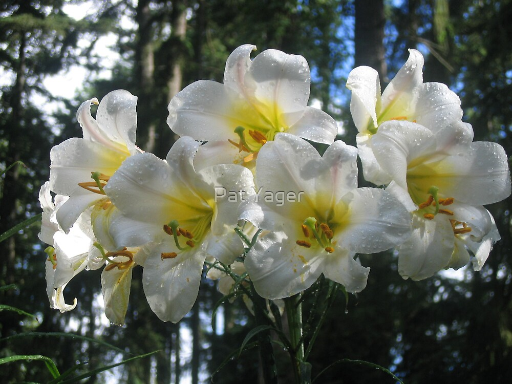 After the Rain - Regale Lilies by Pat Yager