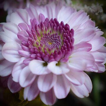 Pink Dahlia by LyndaAnneArt