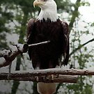 Eagle by Judi Taylor