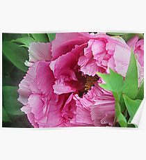 Pink April Tree Peony Poster