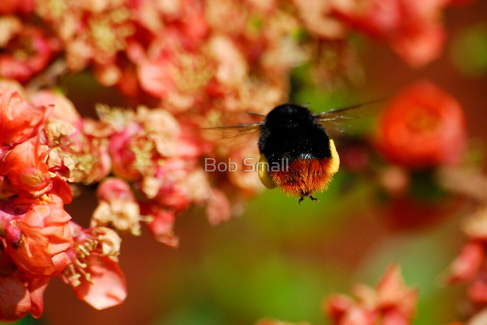 Red Tailed Bumble Bee by Bob Small