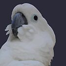 Ruffled Feathers Of A Blue Eyed Cockatoo Isolated by taiche