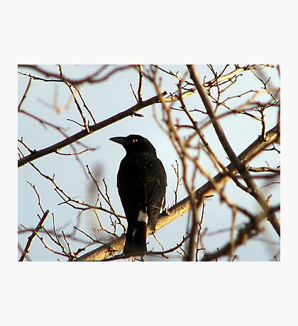 Currawong Photographic Print