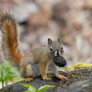 Red squirrel with pine cone by darby8