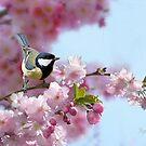 Coal Tit on Cherry Blossom by Morag Bates
