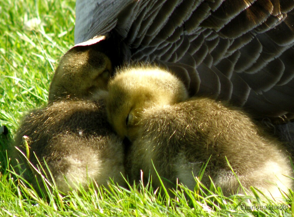 Duckling Cuddle by Charlotte Harold