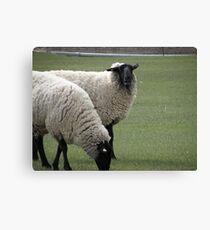 Laughing sheep Canvas Print