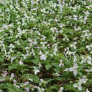 Patch of Trillium by Karen K Smith