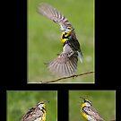 The Eastern Meadowlark by DigitallyStill