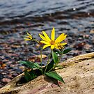 Wild Flowers Along The Mississippi  by Gypsykiss