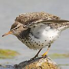 The Wing Stretch of the Spotted Sandpiper by DigitallyStill