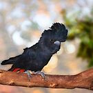 Raf the Red Tailed Black Cockatoo, Native Animal Rescue, Perth by Dave Catley