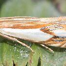 Double banded Grass Veneer Moth IMG_3815 by DigitallyStill