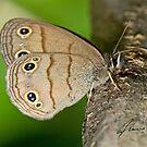 Little Wood Satyr Butterfly by DigitallyStill