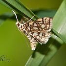 Bog Lyngropia Moth IMG_3475 by DigitallyStill