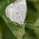 Spring Azure Butterfly IMG_2429 by DigitallyStill