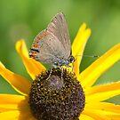 Coral Hairstreak Butterfly IMG_2366  by DigitallyStill