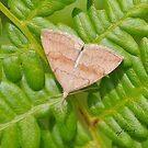 Pale Phalaenostola Litter Moth- IMG_0586 by DigitallyStill