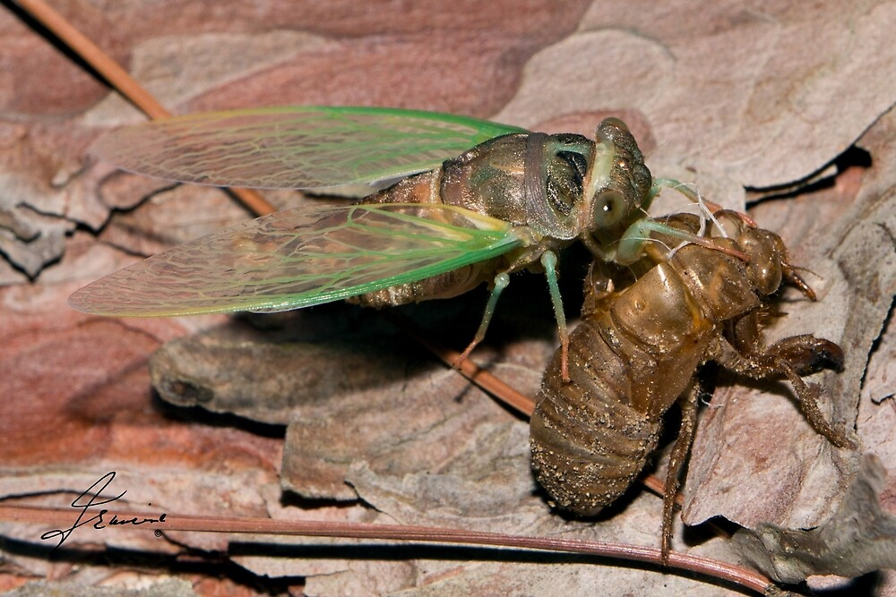 An adult Cicada emerging from its nymph skin by DigitallyStill