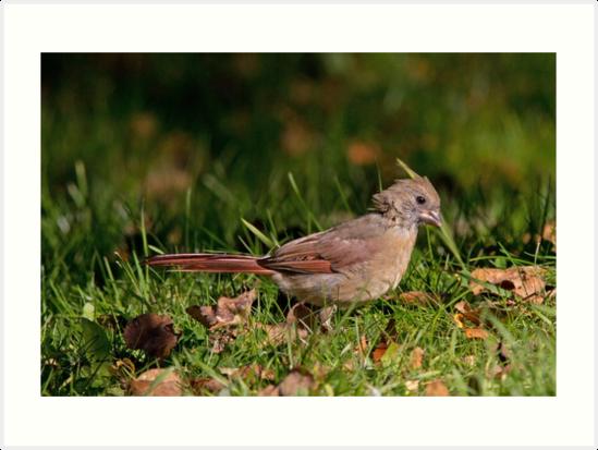 Juvenile Female Northern Cardinal  by DigitallyStill