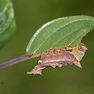 Unicorn moth caterpillar by DigitallyStill
