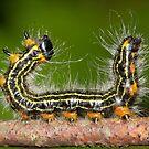 Drexel's Datana Moth Caterpillar by DigitallyStill