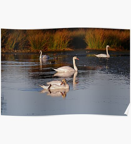 Swans,  at Margrove Park,  NYM  National Park Poster