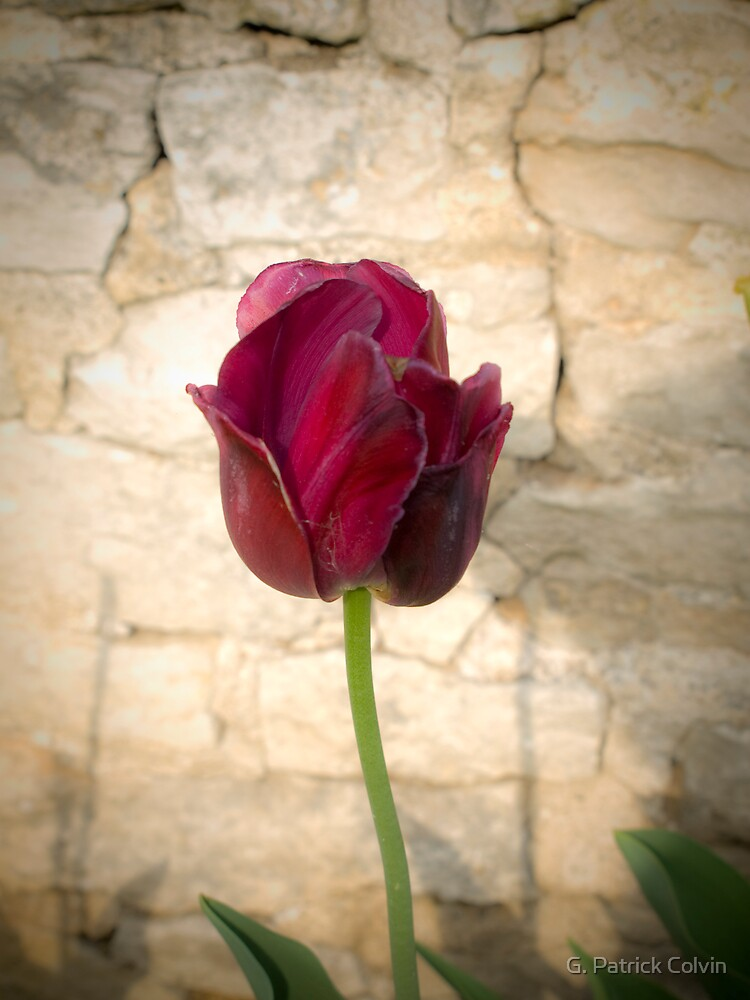 Red Tulip by Gregory Colvin