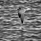 Flight of the Curlew by Geoff Carpenter