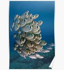 Threadfin Pearl Perch Poster